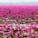"""【見頃は12月~!】まるで天国のような景色…360°""""ピンクの蓮に囲まれる湖""""が人気沸騰直前!"""