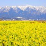 """雪×菜の花のコラボ!冬に咲く美しい""""菜の花畑の絶景""""は1月が見頃です!"""