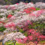 早春を感じる花を愛でたい♪関東の梅の名所6か所【2016年版】