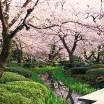 【春の金沢を先取り!】金沢白鳥路ホテル山楽の『早咲桜とご褒美ランチ』を楽しもう