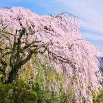 これぞ日本の風情!時代を超えて人々を魅了する「しだれ桜」の名所まとめ