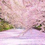 北海道新幹線に乗ってGWは満開の桜を見に行こう!