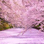 弘前公園の桜の絨毯は圧巻の美しさ!散り際にしか見られない絶景を紹介します。