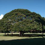 日立の樹を見に行く!ハワイのモアナルアガーデンパーク