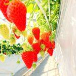 【神奈川・東京】5~6月まで楽しめるイチゴ狩り!家からすぐの日帰りイチゴ狩りスポットまとめ10選!