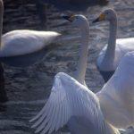 真っ白な景色の中で飛行する白鳥がステキすぎる!!白鳥の湖「瓢湖」なら日中でも白鳥に会える♪