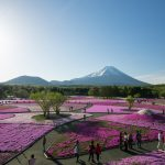 富士芝桜まつりは魅力満開!首都圏最大級80万株と富士山のコラボ絶景