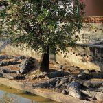 ワニがたくさん!カンボジアにある「クロコダイル・ファーム」について