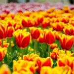 春が来た!春を悦び花が咲く ♫ 中国地方のオススメ花スポット5選 ♫♫