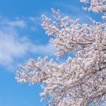 東北の小京都「角館」桜花が町中をピンクに染める!「角館の桜まつり」でさくらを存分に愛でよう♪