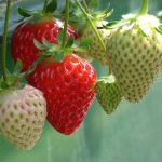 栃木県のイチゴ狩りスポット5選!オリジナルデザートやジャム作りも魅力的♪