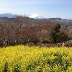 吾妻山公園は湘南でも人気のビュースポット。菜の花と富士山の絶景を見よう!