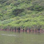 日本最大の面積を誇るマングローブ群落!西表島 仲間川クルーズの魅力!!