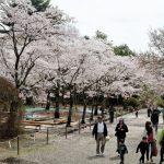 桜山公園は、群馬県藤岡市の名所☆冬にもサクラが見られます!