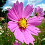 秋の群馬を花で彩る♪群馬でおすすめのコスモスが見られるスポット5選♪