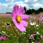 ピンクの花畑で癒されたい♪東北でお勧めのコスモスが見られるスポット6選
