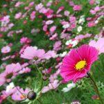 高原に咲く花を見よう!長野でお勧めのコスモスが見られ  るスポット5選