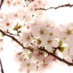1kmの桜並木が魅力的!京都にある「七谷川畔」について