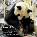【双子のパンダの赤ちゃんが誕生!】見どころが増えた「和歌山アドベンチャーワールド」が今、気になる!