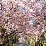 【全国】この道の真ん中を歩きたい!「桜のアーチ」が美しい桜の名所まとめ